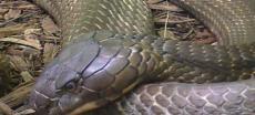 160 Kobras versetzen chinesische Stadt in Angst und Schrecken